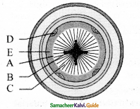 Samacheer Kalvi 11th Bio Botany Guide Chapter 10 Secondary Growth 9
