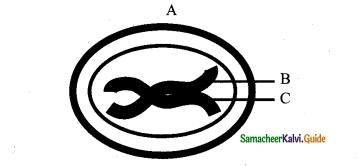 Samacheer Kalvi 11th Bio Botany Guide Chapter 7 Cell Cycle 9