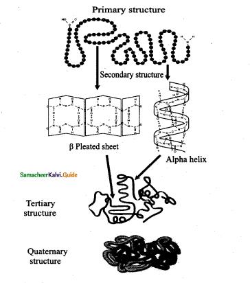 Samacheer Kalvi 11th Bio Botany Guide Chapter 8 Biomolecules 21