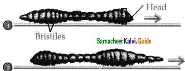 Samacheer Kalvi 11th Bio Zoology Guide Chapter 4 Organ and Organ Systems in Animals 10