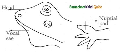 Samacheer Kalvi 11th Bio Zoology Guide Chapter 4 Organ and Organ Systems in Animals 5