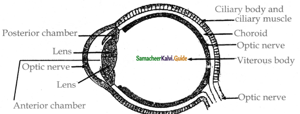 Samacheer Kalvi 11th Bio Zoology Guide Chapter 10 Neural Control and Coordination 24