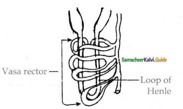 Samacheer Kalvi 11th Bio Zoology Guide Chapter 8 Excretion 12