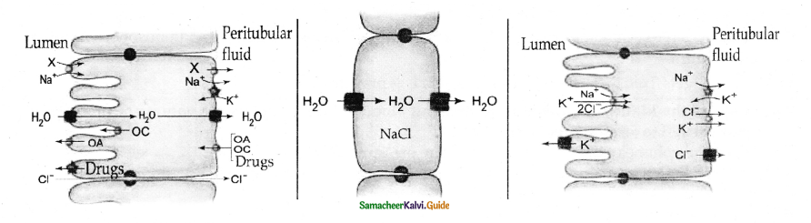 Samacheer Kalvi 11th Bio Zoology Guide Chapter 8 Excretion 2