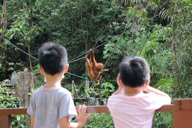 watch orangutan at semenggoh wildlife centre