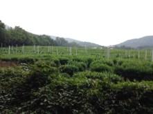 Tea Fields, West Lake, Hangzhou