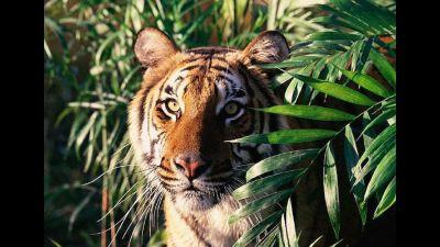 बर्दियामा बाघ आतङ्क: नागरिक सम्साँझँ घरभित्र बस्न बाध्य