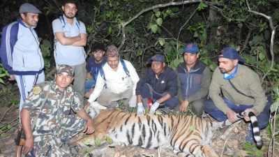 मान्छे आक्रमण गर्ने बाघ काठमाडौं ल्याइँदै