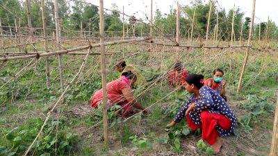 अर्गानिक उत्पादनमा किसान जुट्दै