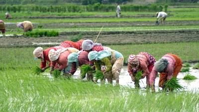 आज राष्ट्रिय धान दिवस : मानो रोपेर मूरी उब्जाउने दिन