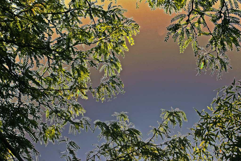 Locust Tree Near Dawn