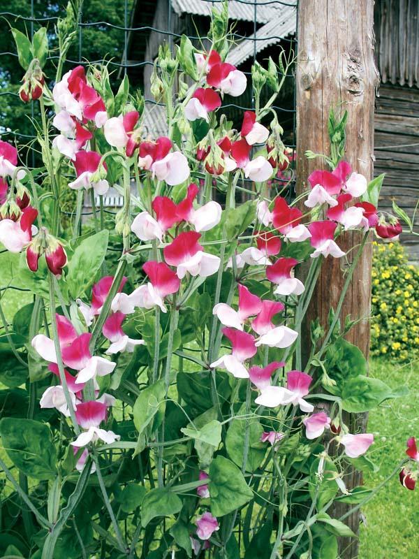 Обзор популярных вьющихся садовых растений в ландшафтном ...