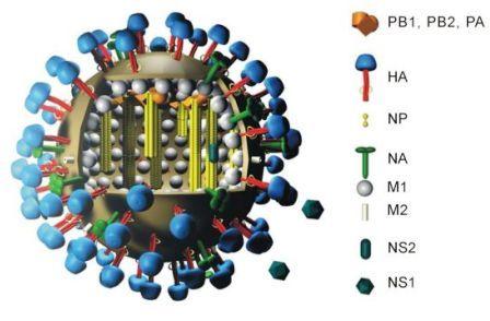 Swine Flu (AH1N1 Virus) (4/4)