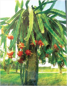 What is Dragon Fruit(Pitaya)? (1/3)