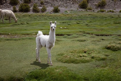 A young llama seen on our descent back to Uyuni