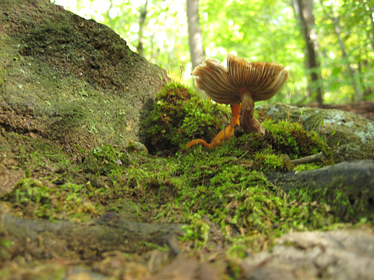 Mushroom in Garrison, NY near Anthony's Nose