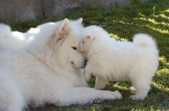 Samoyed puppies 10