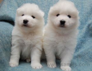 samoyed pappies 11