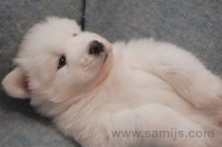 samoyed pappies 15