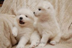 samoyed pappies 8