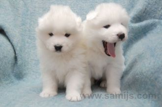 samoyed pappies 12