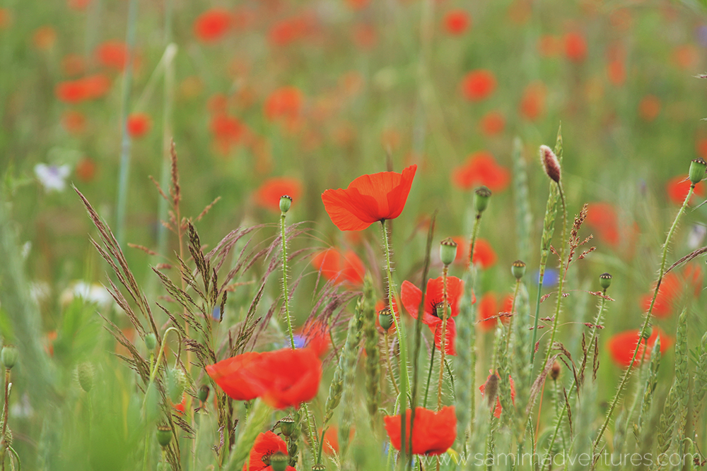 Arlon Belgium Poppy Field