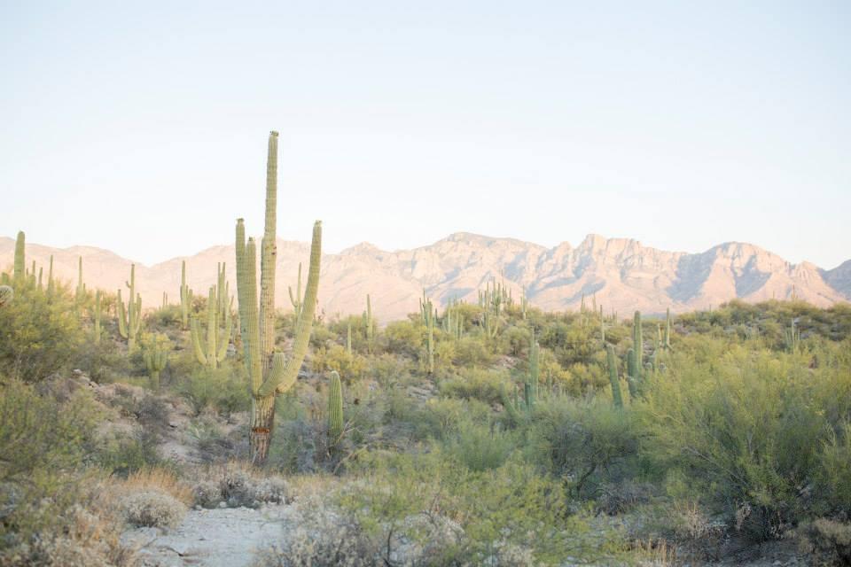 Large Cacti Oro Valley Arizona