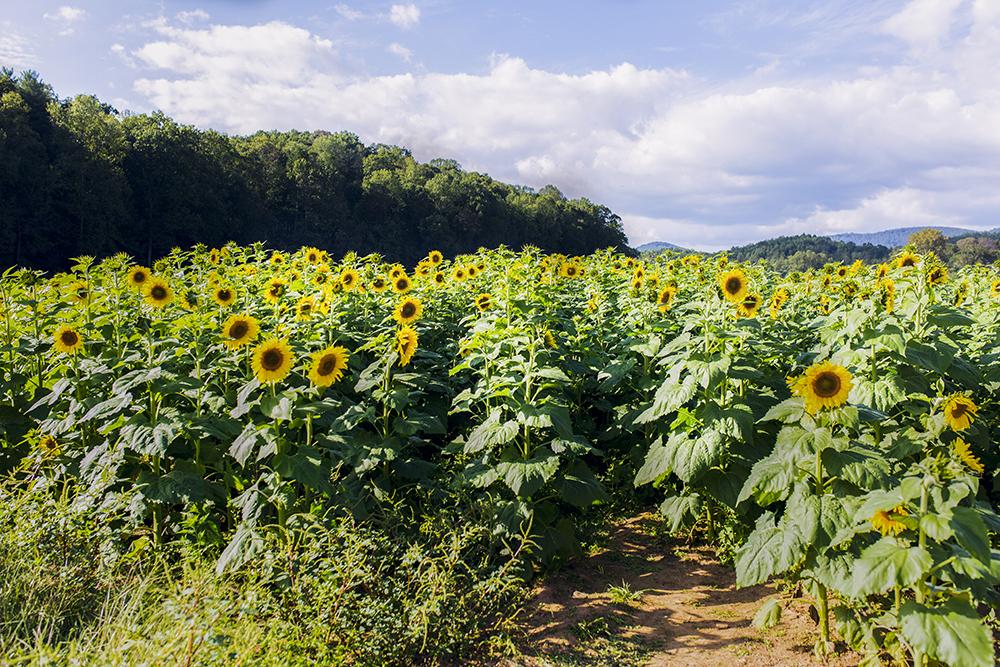 Fausett Farms Sunflower Field