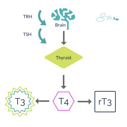 Thyroid Pathway