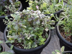 Fancy purple basil in mixed planters