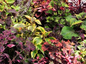 Coleus display