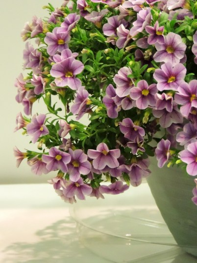 Noa Violet Glint calibrachoa