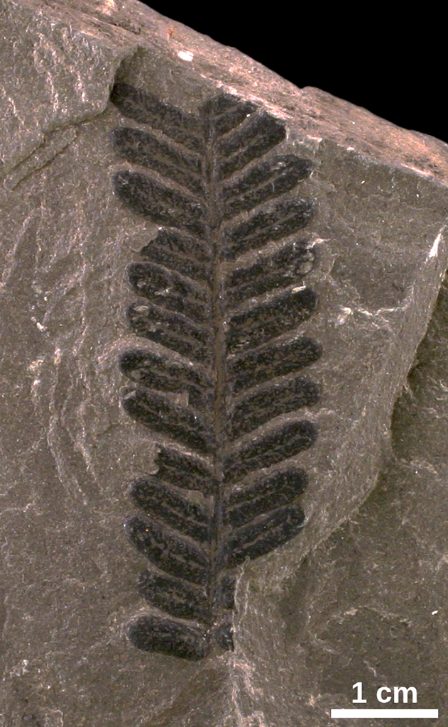 Carboniferous Ferns Gallery