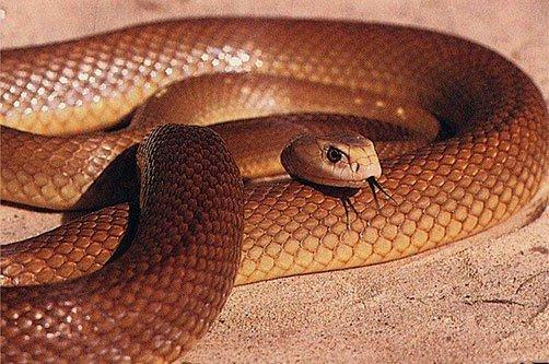 Самые опасные змеи • Живая природа