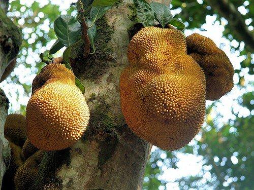 wunderschöne Königs-Granadilla hat maracuja-ähnliche leckere Früchte !