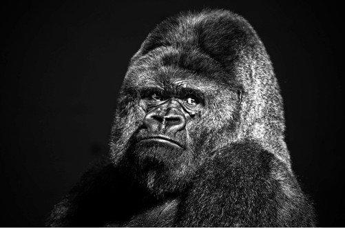 Самая крупная человекообразная обезьяна • Живая природа