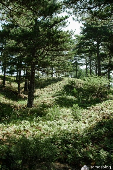Ferns and firs