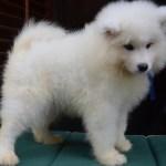 Samoyed Puppies Od Mano Siberian