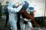 Orangutan ini sempat mengejar petugas sebelum dilumpuhkan