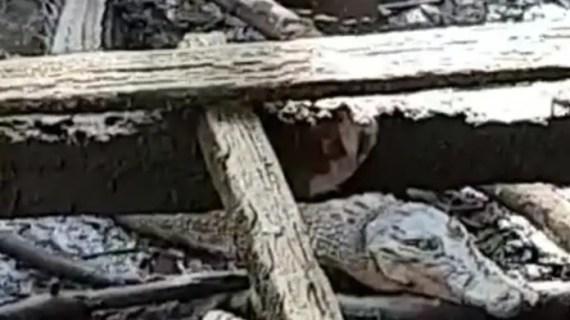 Buaya Muncul, BKSD Imbau Warga Jangan Buang Sampah dan Bangkai Unggas ke Sungai