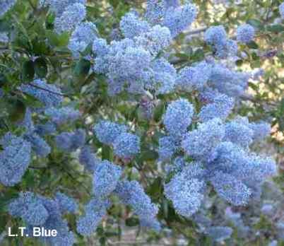Ceanothus_L.T.Blue
