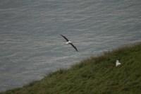 _MG_7964Dunedin, Royal Albatross17