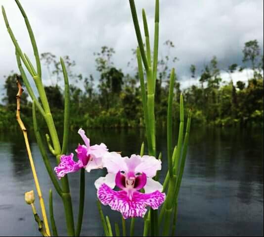 Bunga Anggrek Indahkan Rawa Singkil, SamuderaKepri