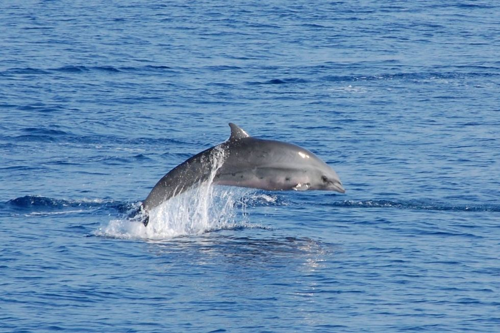 Fraser's Dolphins in Maldives