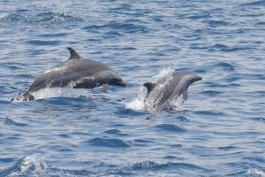 Pantropical Spotted Dolphins in Maldives