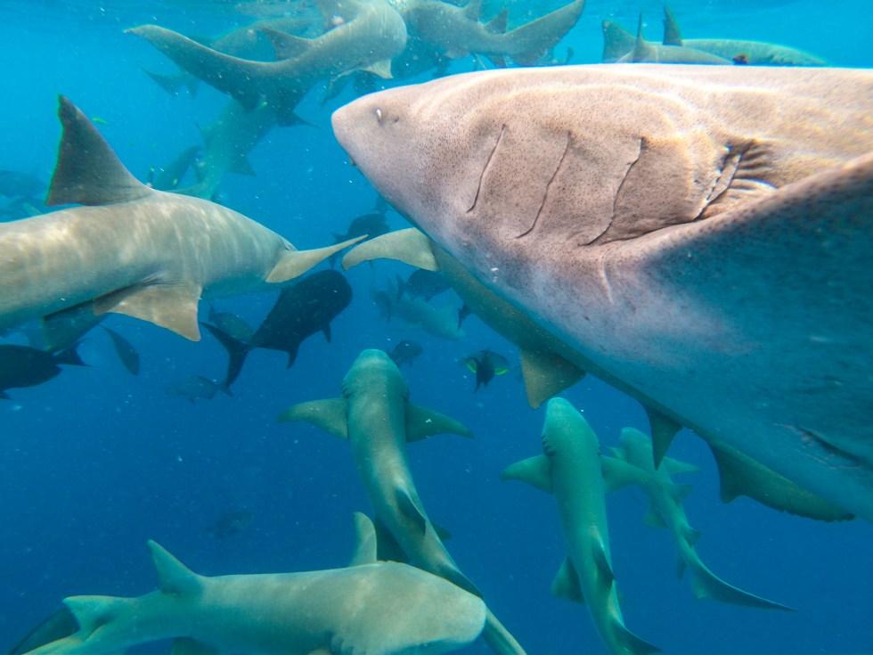 Sharks in Maldives