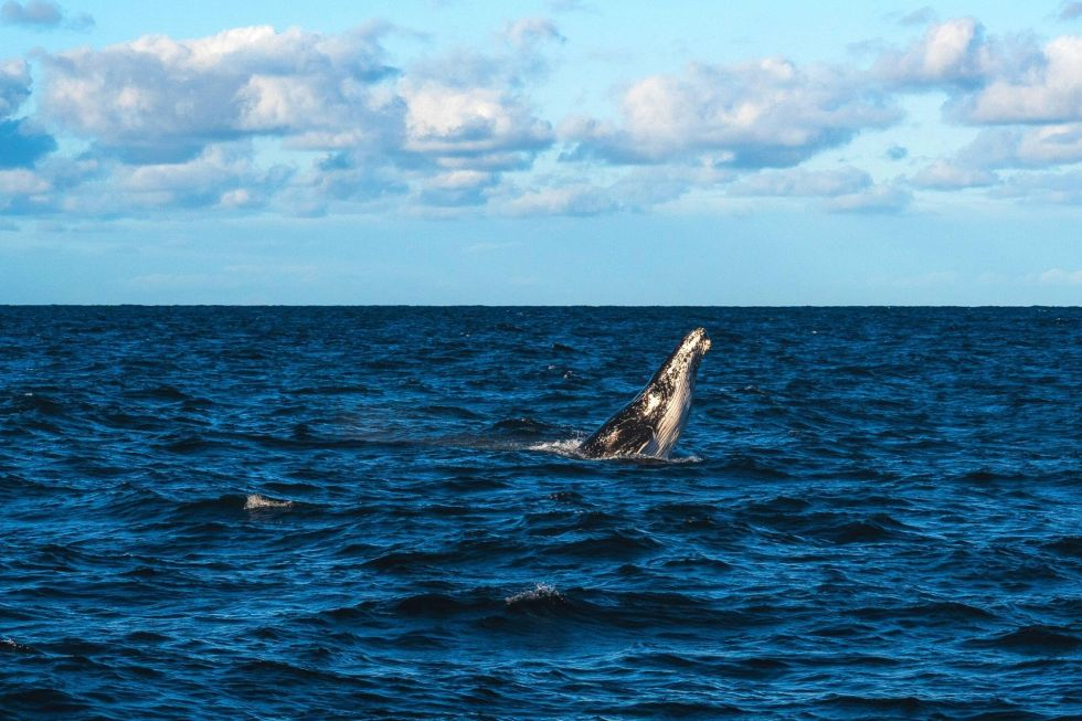 The Best Times for Maldives Whale Watching