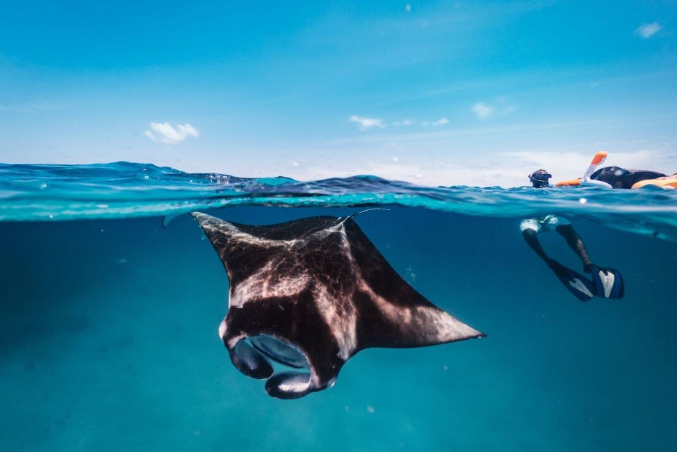 What are Manta Rays?