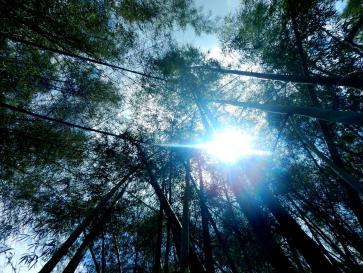 Sonnenfall durch Bambusdickicht
