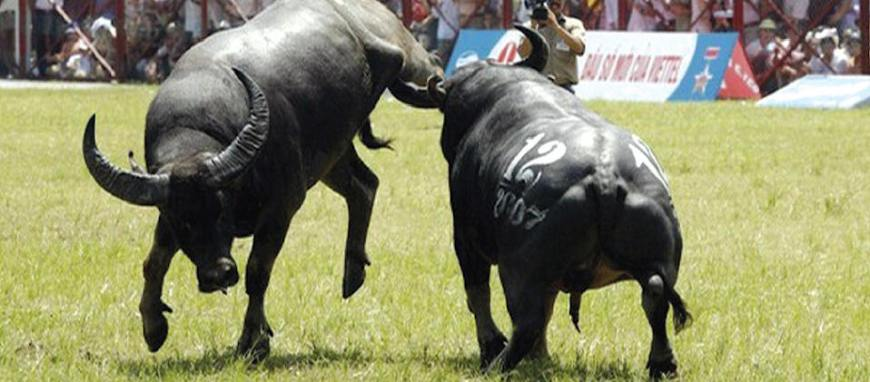 Samui buffalo fighting